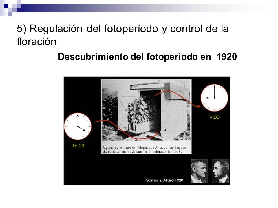 5) Regulación del fotoperíodo y control de la floración Descubrimiento del fotoperiodo en 1920