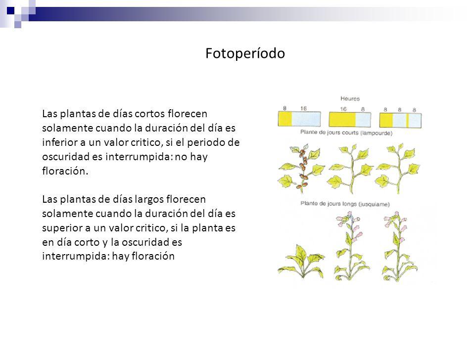 Fotoperíodo Las plantas de días cortos florecen solamente cuando la duración del día es inferior a un valor critico, si el periodo de oscuridad es int