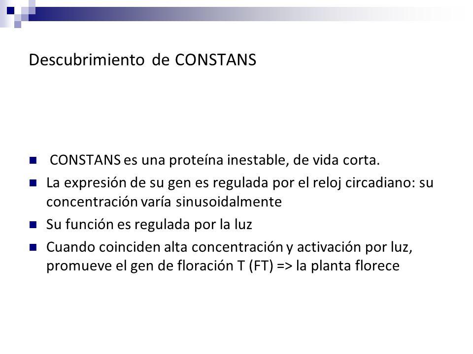 Descubrimiento de CONSTANS CONSTANS es una proteína inestable, de vida corta. La expresión de su gen es regulada por el reloj circadiano: su concentra