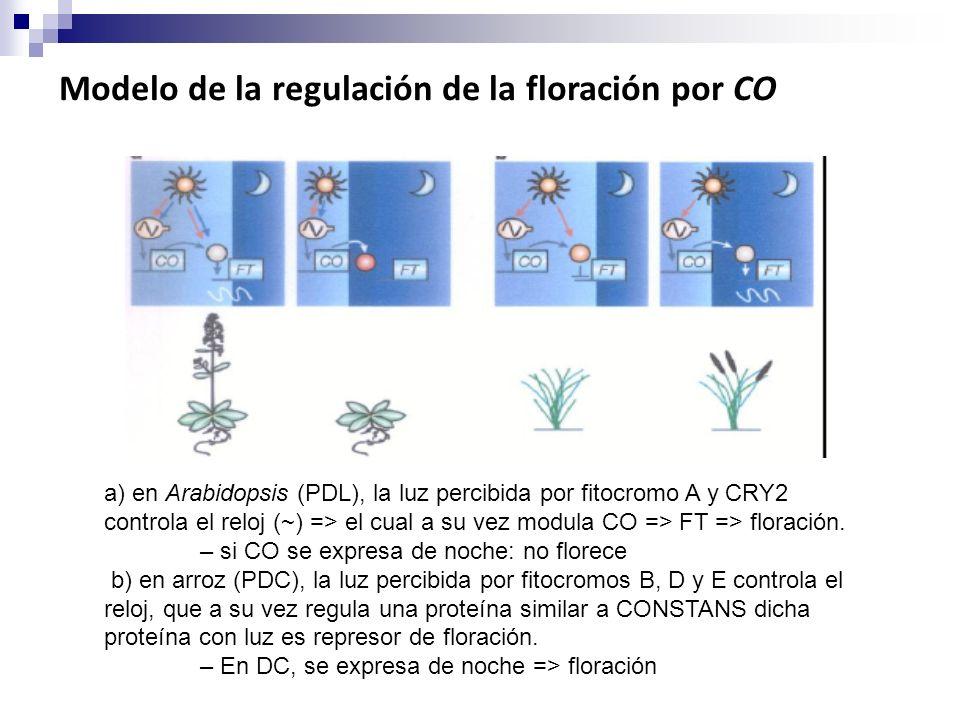 a) en Arabidopsis (PDL), la luz percibida por fitocromo A y CRY2 controla el reloj (~) => el cual a su vez modula CO => FT => floración. – si CO se ex