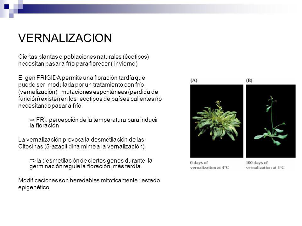 VERNALIZACION Ciertas plantas o poblaciones naturales (écotipos) necesitan pasar a frío para florecer ( invierno) El gen FRIGIDA permite una floración