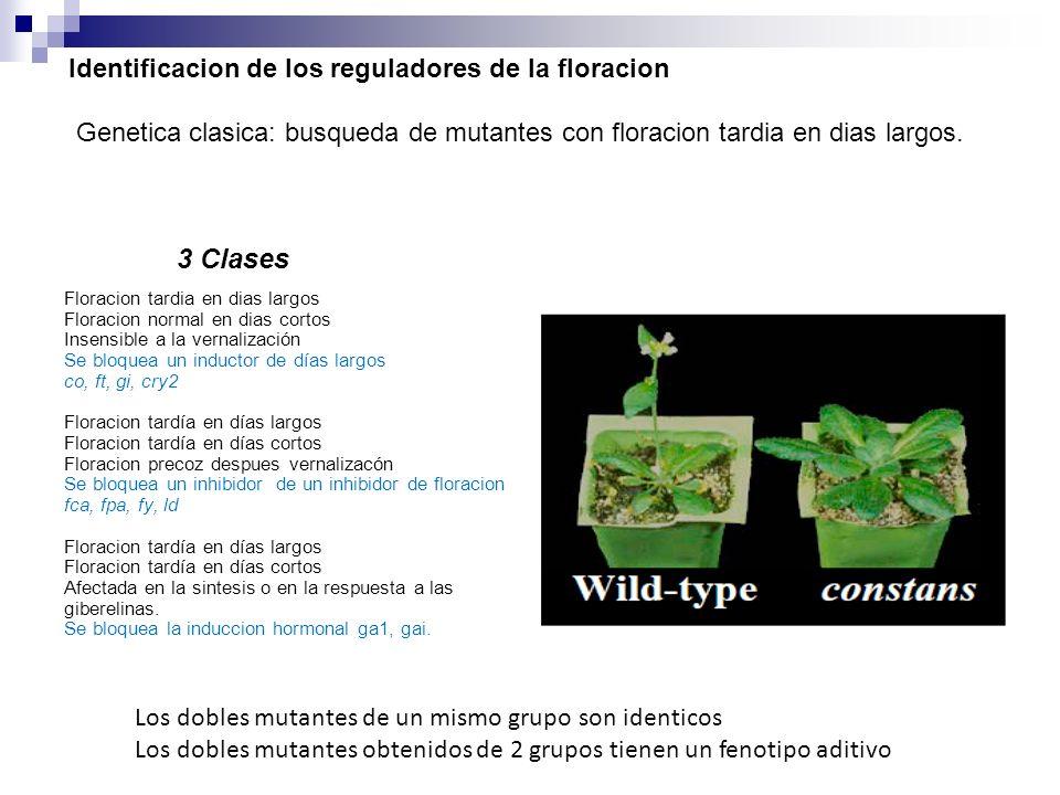Identificacion de los reguladores de la floracion Genetica clasica: busqueda de mutantes con floracion tardia en dias largos. 3 Clases Floracion tardi