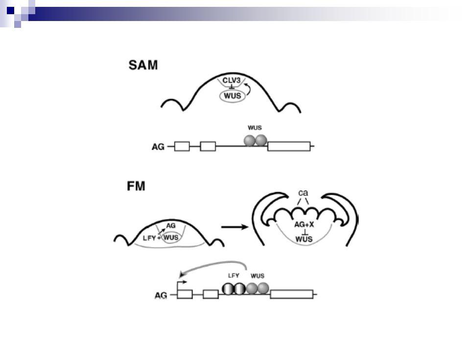 LEAFY (LFY), leafy mutante, los tallos que tendrían que convertirse en flores guardan un crecimiento indeterminado expresión constitutiva de LFY: los tallos secundarios se convierten en flores y el tallo primario se transforma precozmente en flor.