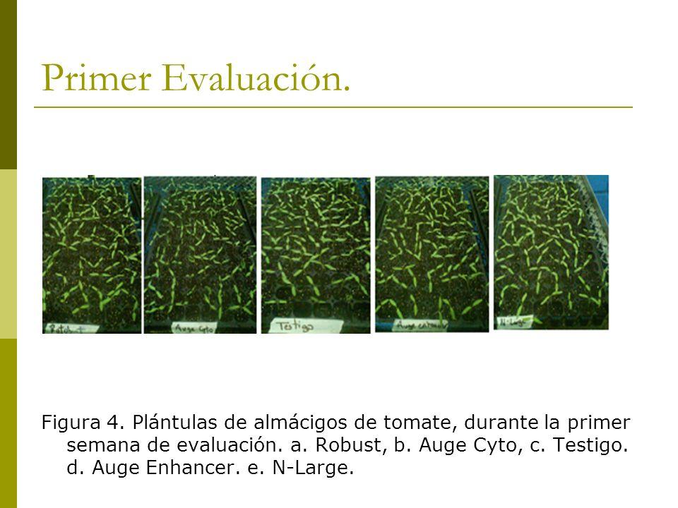 Primer Evaluación. Figura 4. Plántulas de almácigos de tomate, durante la primer semana de evaluación. a. Robust, b. Auge Cyto, c. Testigo. d. Auge En
