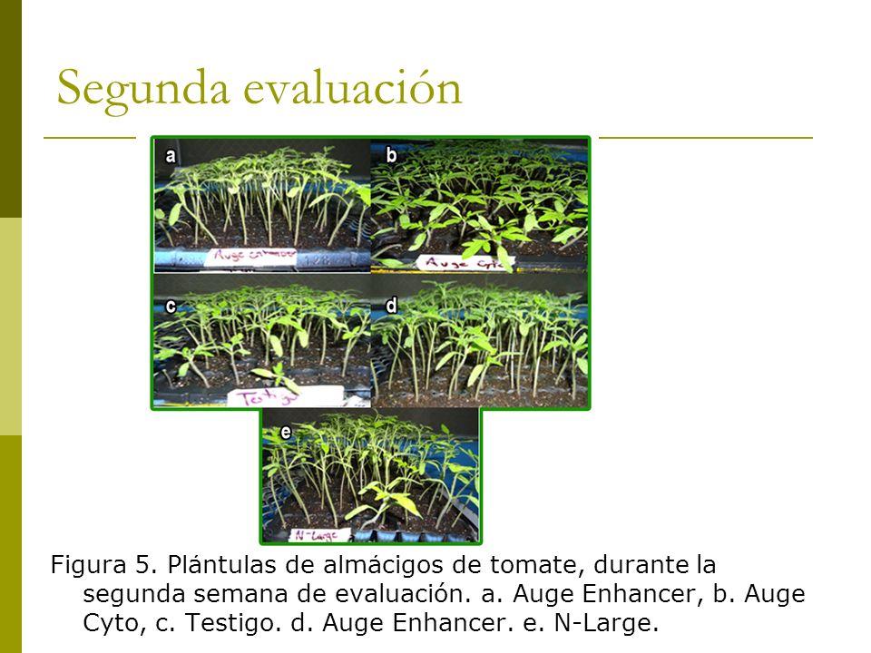 Segunda evaluación Figura 5. Plántulas de almácigos de tomate, durante la segunda semana de evaluación. a. Auge Enhancer, b. Auge Cyto, c. Testigo. d.