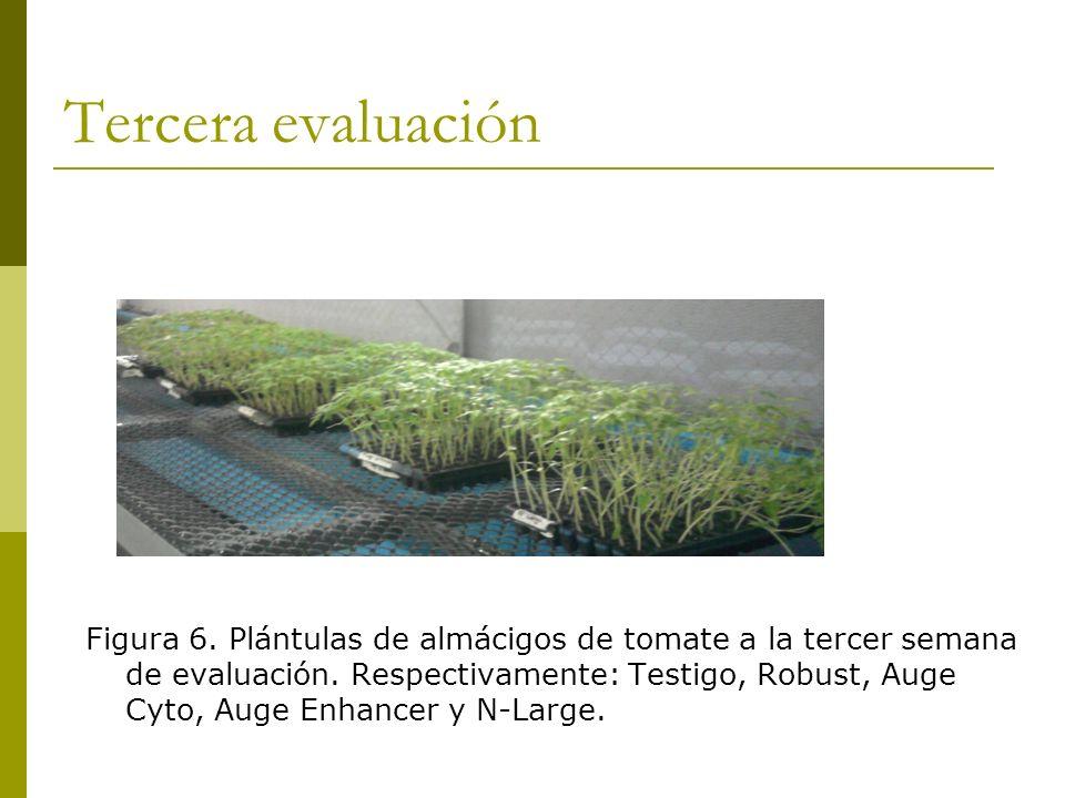 Tercera evaluación Figura 6. Plántulas de almácigos de tomate a la tercer semana de evaluación. Respectivamente: Testigo, Robust, Auge Cyto, Auge Enha