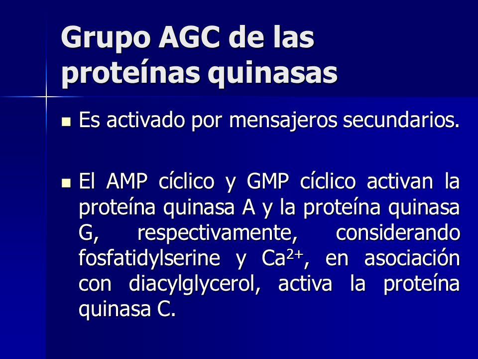 Grupo AGC de las proteínas quinasas Es activado por mensajeros secundarios. Es activado por mensajeros secundarios. El AMP cíclico y GMP cíclico activ