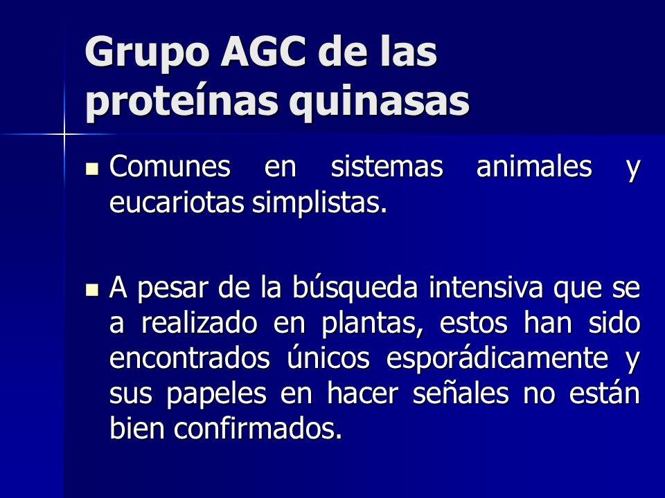 Grupo AGC de las proteínas quinasas Comunes en sistemas animales y eucariotas simplistas. Comunes en sistemas animales y eucariotas simplistas. A pesa