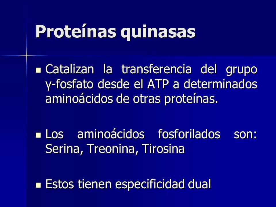 Proteínas quinasas Catalizan la transferencia del grupo γ-fosfato desde el ATP a determinados aminoácidos de otras proteínas. Catalizan la transferenc