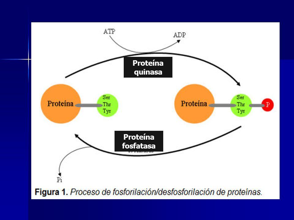 CDK La activan / desactivan quinasa dependiente de la ciclina (CDK) se ven involucrados factores de la división celular, de la transcripción, expresión del gen y también enzimas involucradas en procesos metabólicas La activan / desactivan quinasa dependiente de la ciclina (CDK) se ven involucrados factores de la división celular, de la transcripción, expresión del gen y también enzimas involucradas en procesos metabólicas