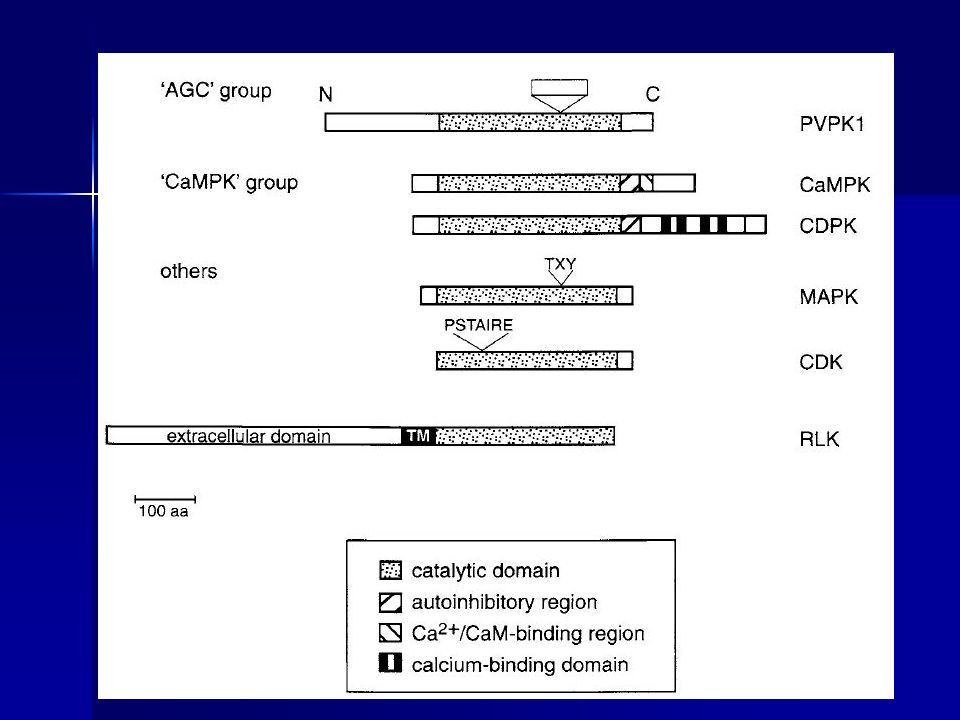 Grupo AGC de las proteínas quinasas Es activado por mensajeros secundarios.