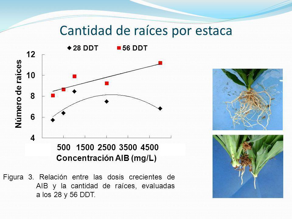 Figura 3. Relación entre las dosis crecientes de AIB y la cantidad de raíces, evaluadas a los 28 y 56 DDT.