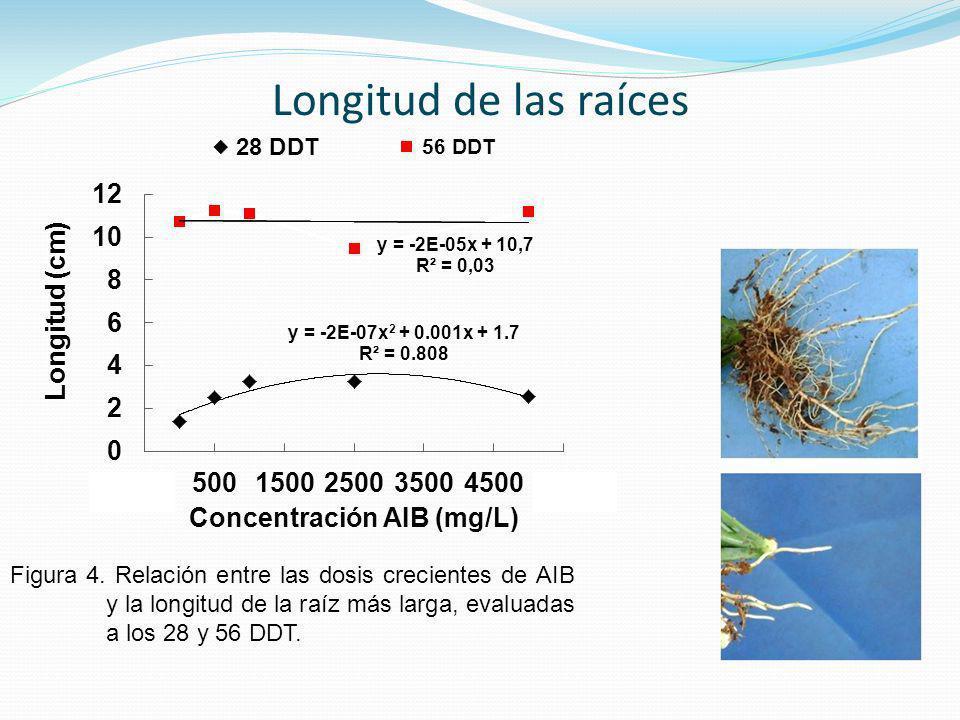 Figura 4. Relación entre las dosis crecientes de AIB y la longitud de la raíz más larga, evaluadas a los 28 y 56 DDT. Longitud de las raíces