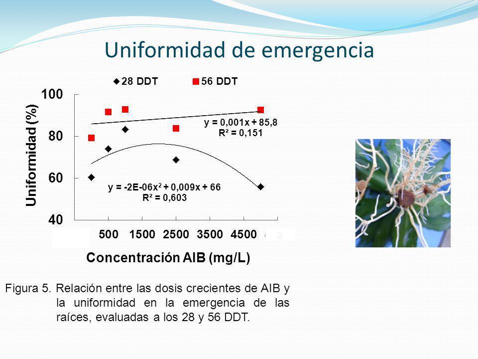 Figura 5. Relación entre las dosis crecientes de AIB y la uniformidad en la emergencia de las raíces, evaluadas a los 28 y 56 DDT. Uniformidad de emer
