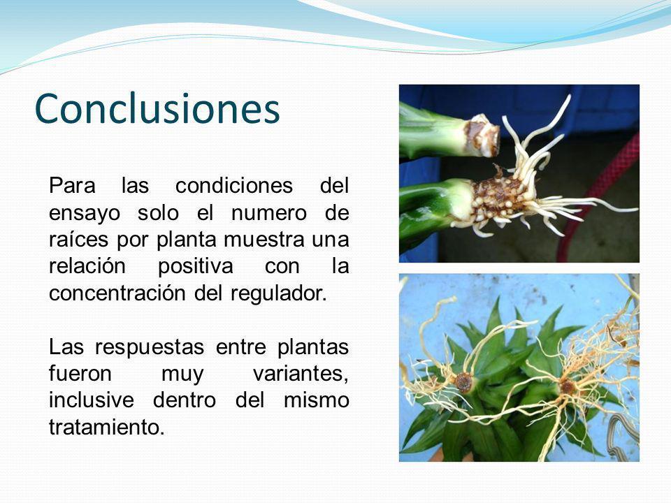 Conclusiones Para las condiciones del ensayo solo el numero de raíces por planta muestra una relación positiva con la concentración del regulador. Las