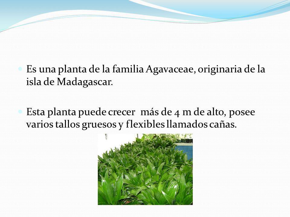 Es una planta de la familia Agavaceae, originaria de la isla de Madagascar. Esta planta puede crecer más de 4 m de alto, posee varios tallos gruesos y