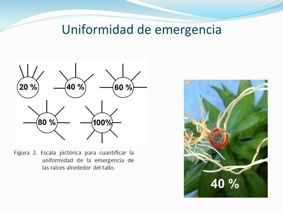 Figura 2. Escala pictórica para cuantificar la uniformidad de la emergencia de las raíces alrededor del tallo. 40 % Uniformidad de emergencia