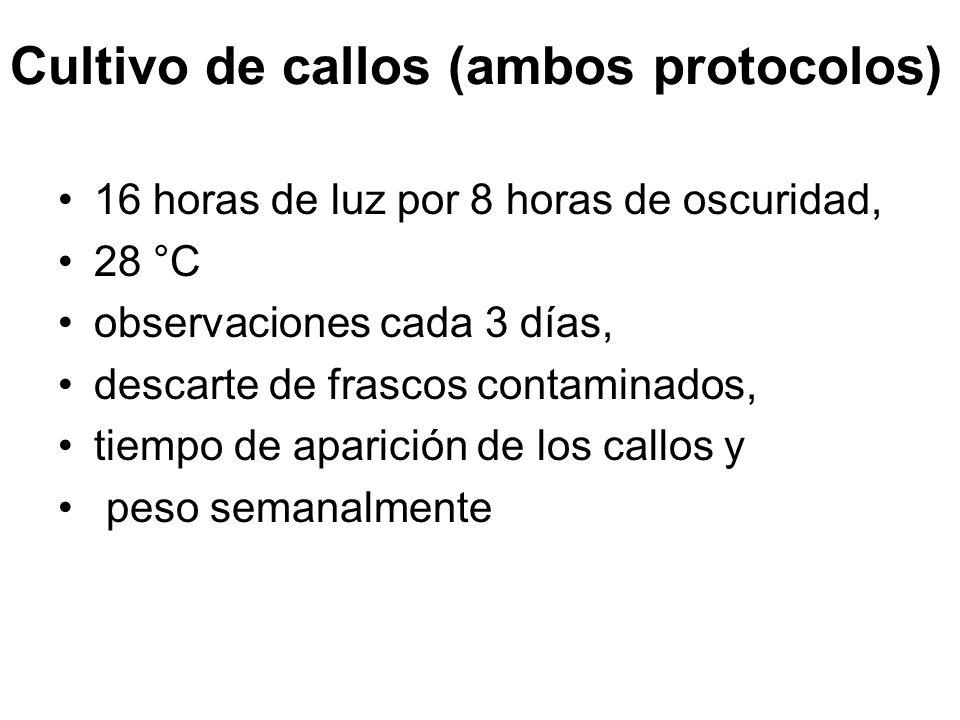 Cultivo de callos (ambos protocolos) 16 horas de luz por 8 horas de oscuridad, 28 °C observaciones cada 3 días, descarte de frascos contaminados, tiempo de aparición de los callos y peso semanalmente