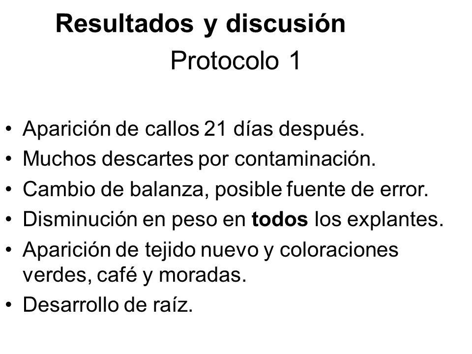 Protocolo 1 Aparición de callos 21 días después.Muchos descartes por contaminación.