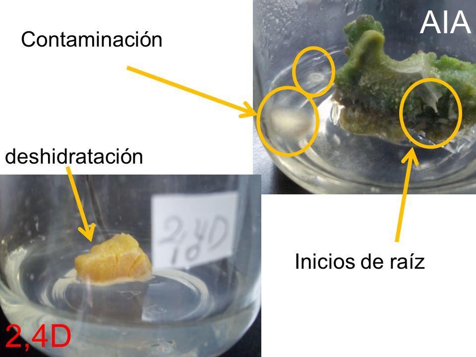 deshidratación Contaminación Inicios de raíz AIA 2,4D