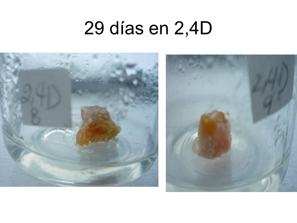 29 días en 2,4D