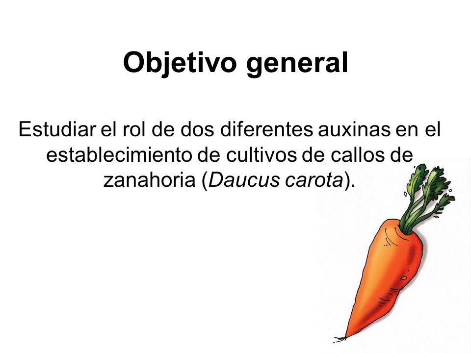 Materiales y métodos (dos protocolos distintos) Laboratorio de Biotecnología del CIA Piezas de tejido de la raíz de zanahoria.