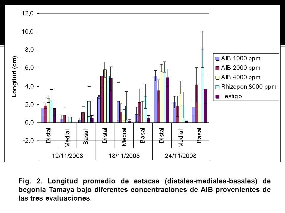 Fig. 2. Longitud promedio de estacas (distales-mediales-basales) de begonia Tamaya bajo diferentes concentraciones de AIB provenientes de las tres eva