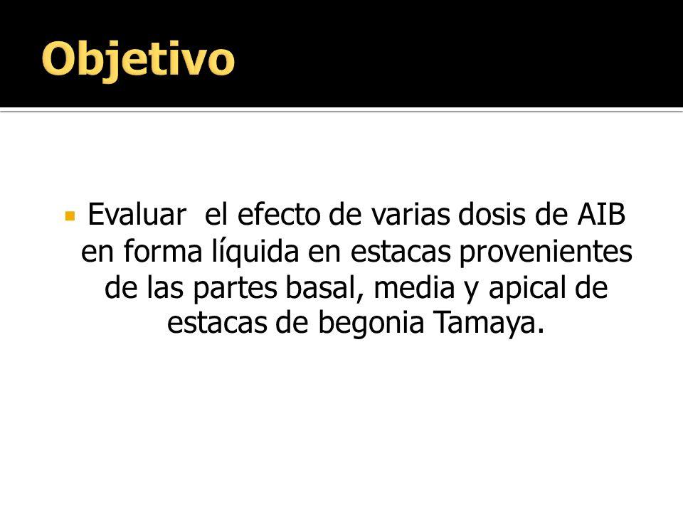 Evaluar el efecto de varias dosis de AIB en forma líquida en estacas provenientes de las partes basal, media y apical de estacas de begonia Tamaya.
