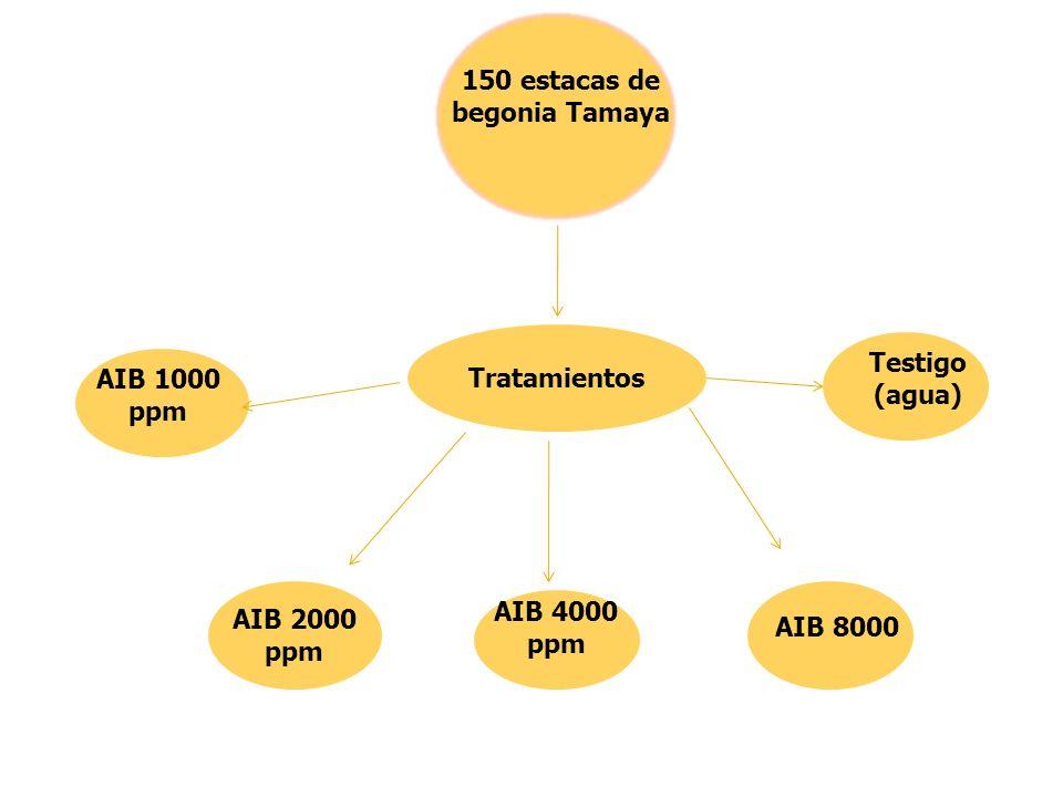 Tratamientos Testigo (agua) AIB 1000 ppm AIB 2000 ppm AIB 8000 AIB 4000 ppm 150 estacas de begonia Tamaya
