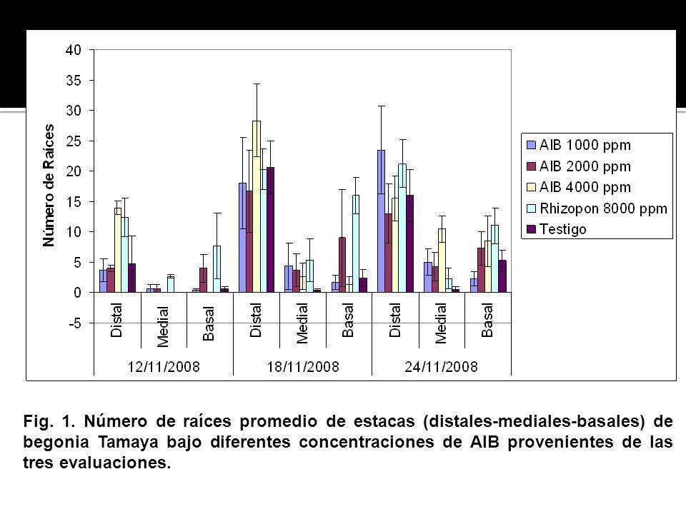 Fig. 1. Número de raíces promedio de estacas (distales-mediales-basales) de begonia Tamaya bajo diferentes concentraciones de AIB provenientes de las