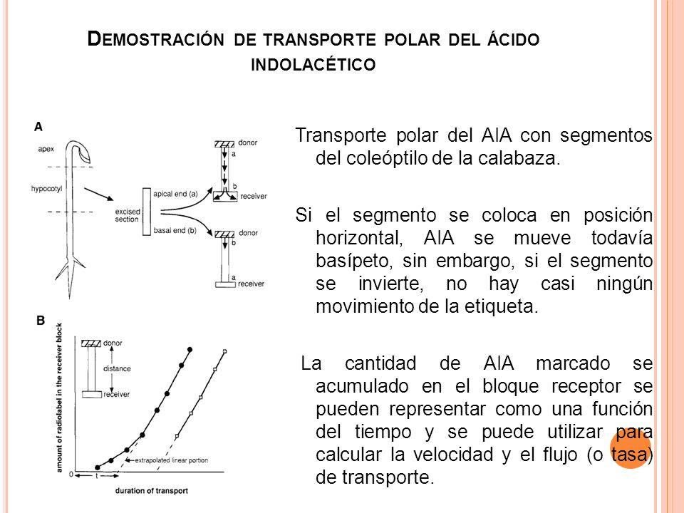 D EMOSTRACIÓN DE TRANSPORTE POLAR DEL ÁCIDO INDOLACÉTICO Transporte polar del AIA con segmentos del coleóptilo de la calabaza. Si el segmento se coloc