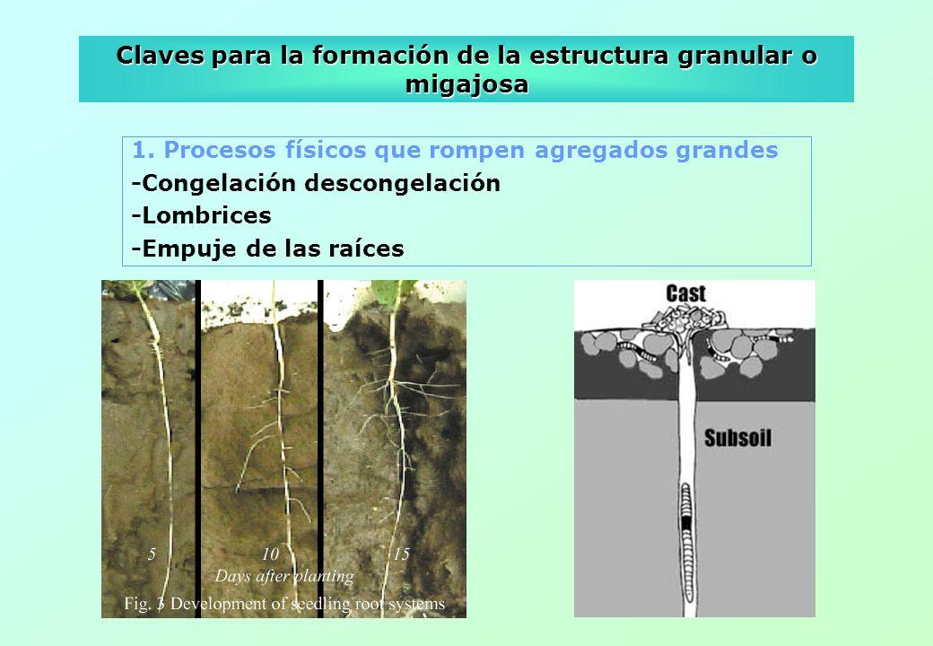 Claves para la formación de la estructura granular o migajosa 1. Procesos físicos que rompen agregados grandes -Congelación descongelación -Lombrices