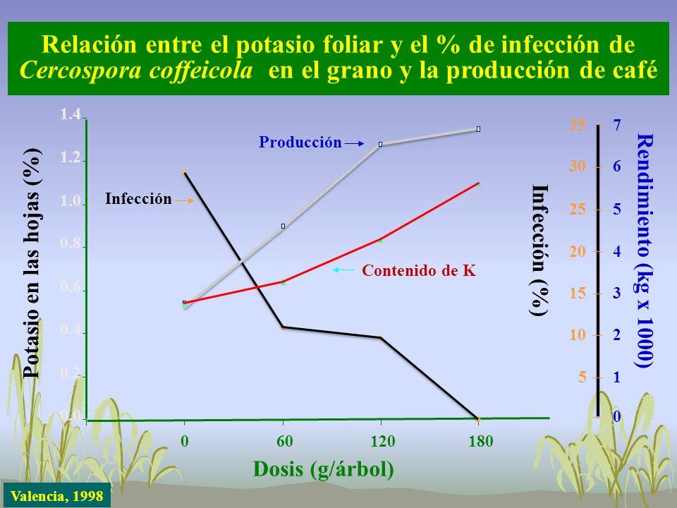 Relación entre el potasio foliar y el % de infección de Cercospora coffeicola en el grano y la producción de café Potasio en las hojas (%) 0.0 0.2 0.4