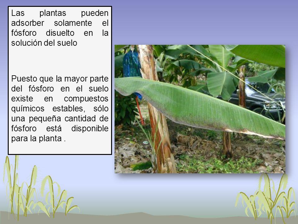 Las plantas pueden adsorber solamente el fósforo disuelto en la solución del suelo Puesto que la mayor parte del fósforo en el suelo existe en compues
