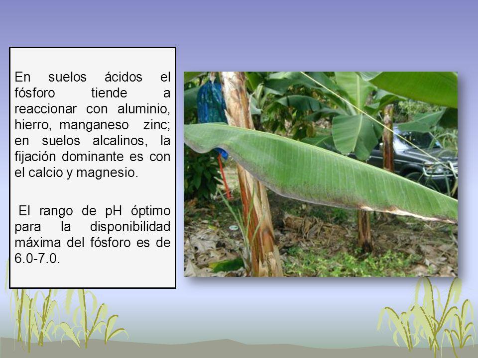 En suelos ácidos el fósforo tiende a reaccionar con aluminio, hierro, manganeso zinc; en suelos alcalinos, la fijación dominante es con el calcio y ma