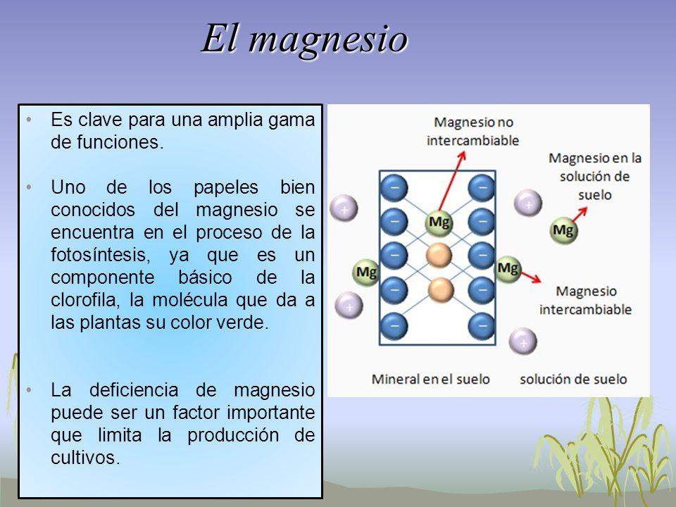 El magnesio Es clave para una amplia gama de funciones. Uno de los papeles bien conocidos del magnesio se encuentra en el proceso de la fotosíntesis,