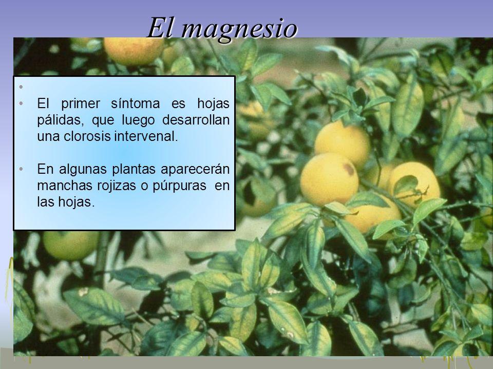 El magnesio El primer síntoma es hojas pálidas, que luego desarrollan una clorosis intervenal. En algunas plantas aparecerán manchas rojizas o púrpura