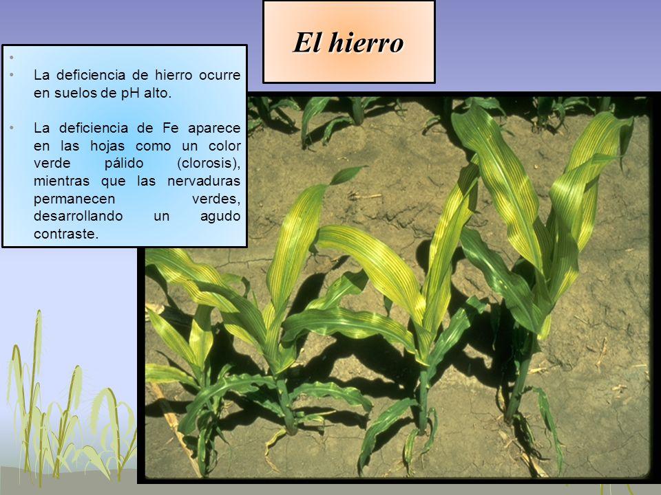El hierro La deficiencia de hierro ocurre en suelos de pH alto. La deficiencia de Fe aparece en las hojas como un color verde pálido (clorosis), mient