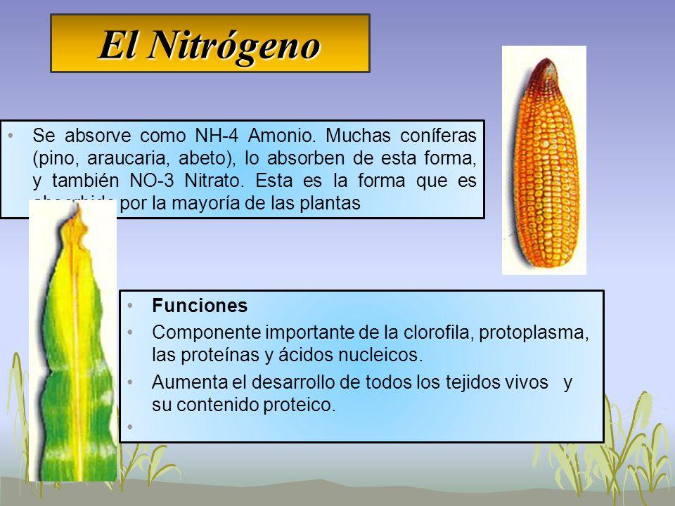 El Nitrógeno Se absorve como NH-4 Amonio. Muchas coníferas (pino, araucaria, abeto), lo absorben de esta forma, y también NO-3 Nitrato. Esta es la for
