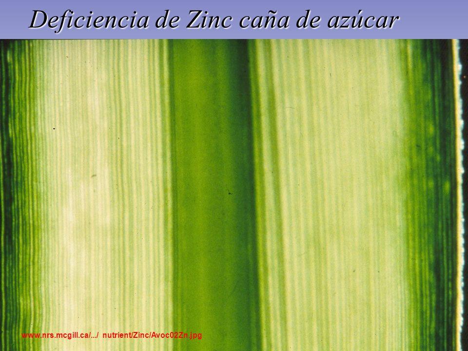 Deficiencia de Zinc caña de azúcar www.nrs.mcgill.ca/.../ nutrient/Zinc/Avoc02Zn.jpg