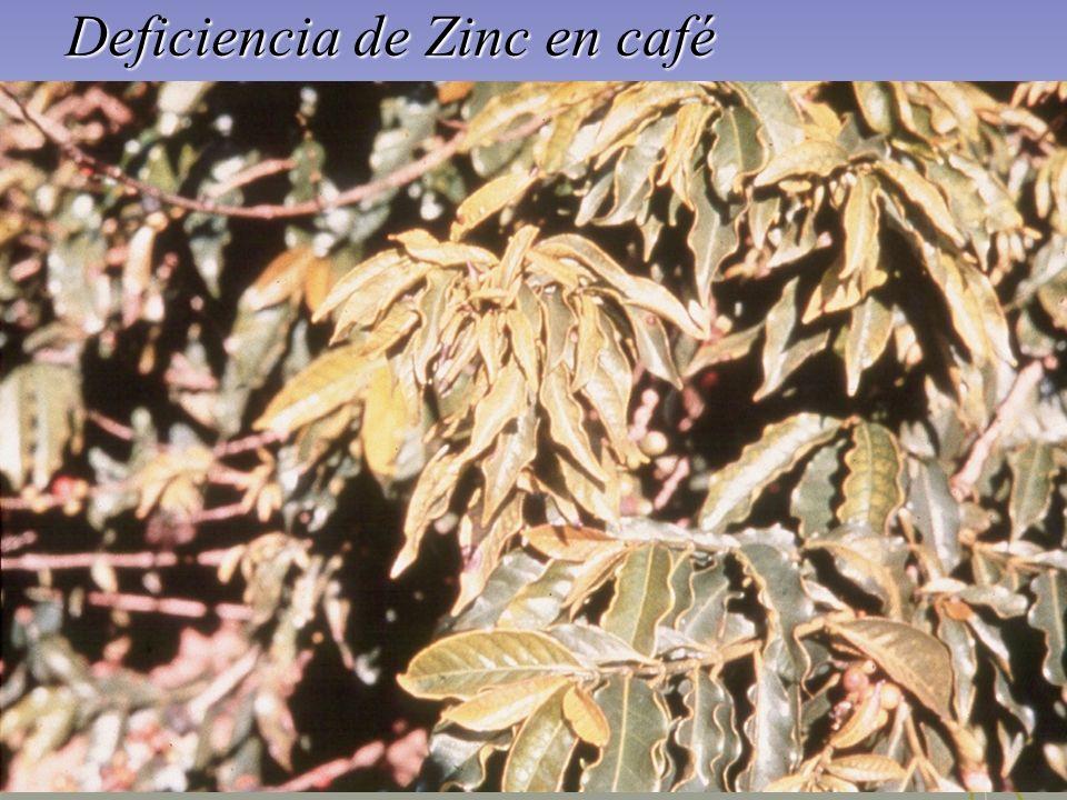 Deficiencia de Zinc en café