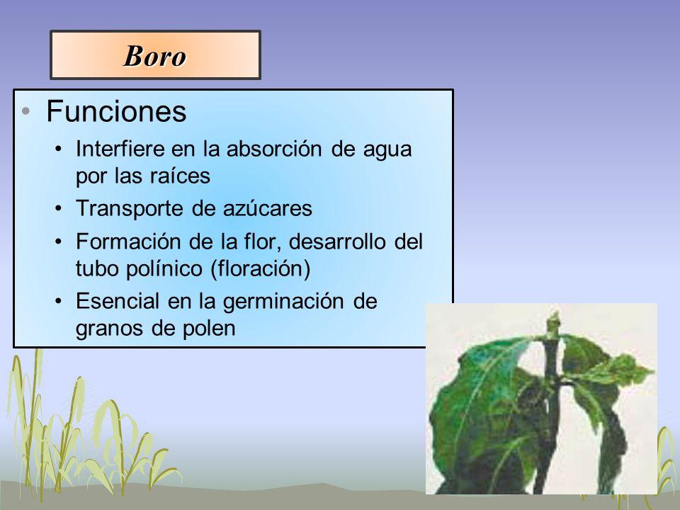 Boro Funciones Interfiere en la absorción de agua por las raíces Transporte de azúcares Formación de la flor, desarrollo del tubo polínico (floración)