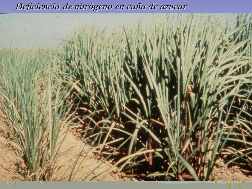 Deficiencia de nitrógeno en caña de azucar