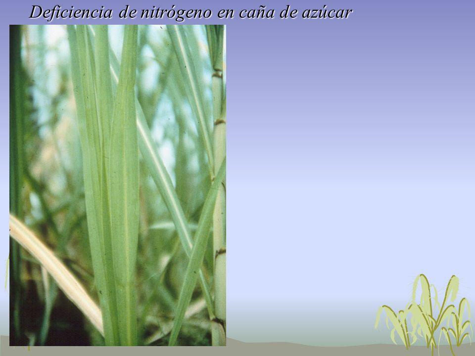 Deficiencia de nitrógeno en caña de azúcar