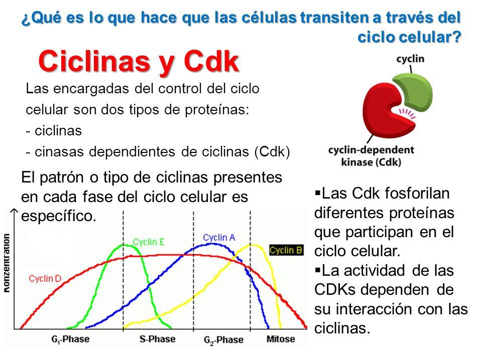 Ciclinas y Cdk Las encargadas del control del ciclo celular son dos tipos de proteínas: - ciclinas - cinasas dependientes de ciclinas (Cdk) ¿Qué es lo