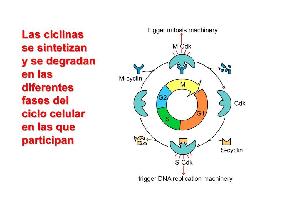 Las ciclinas se sintetizan y se degradan en las diferentes fases del ciclo celular en las que participan