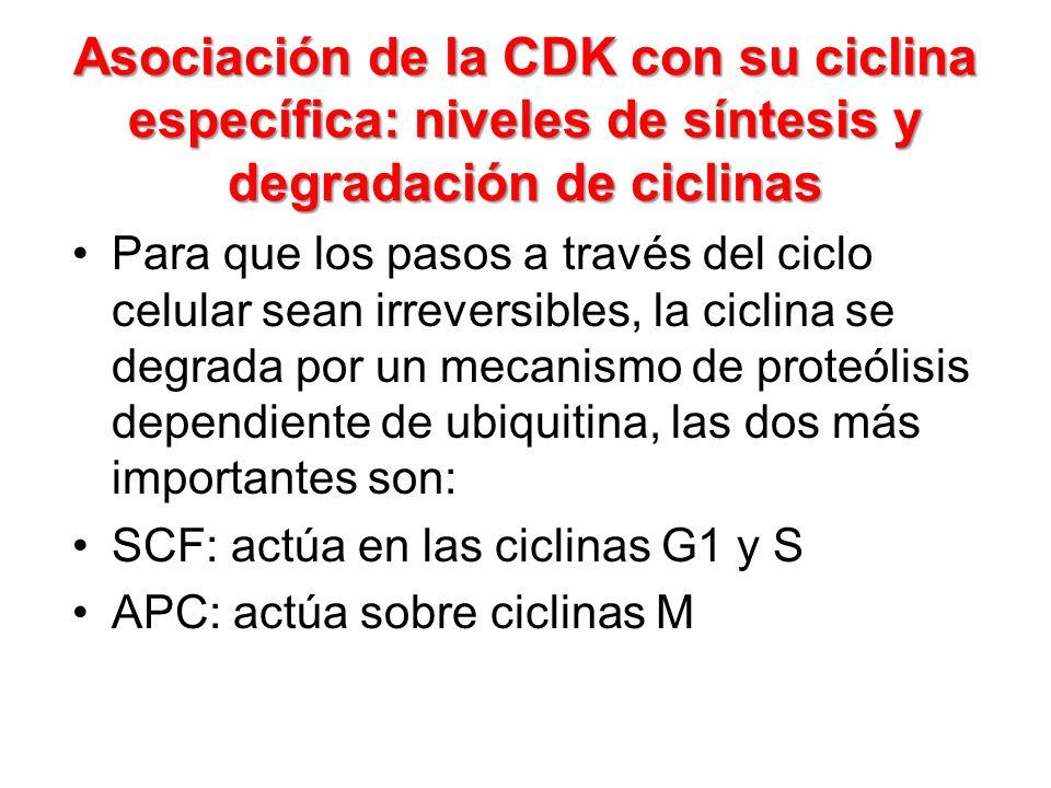 Asociación de la CDK con su ciclina específica: niveles de síntesis y degradación de ciclinas Para que los pasos a través del ciclo celular sean irrev