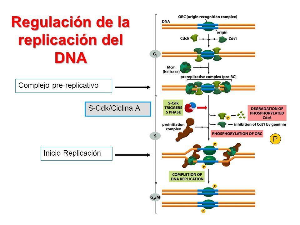 Regulación de la replicación del DNA Complejo pre-replicativo S-Cdk/Ciclina A Inicio Replicación P