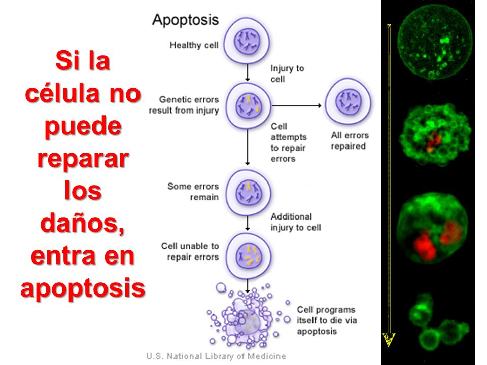 Si la célula no puede reparar los daños, entra en apoptosis