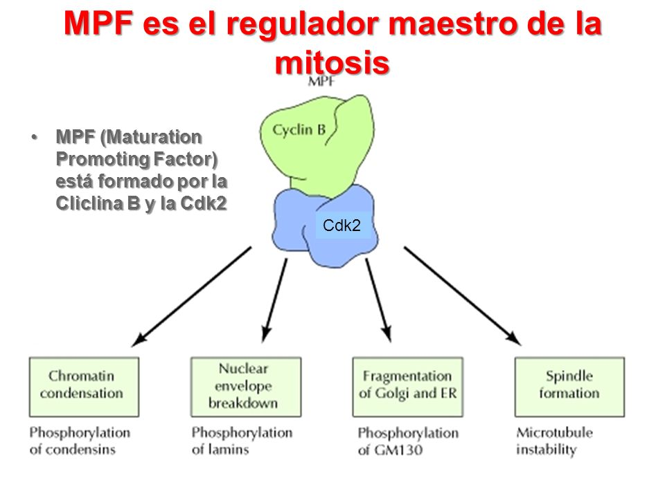 MPF es el regulador maestro de la mitosis MPF (Maturation Promoting Factor) está formado por la Cliclina B y la Cdk2MPF (Maturation Promoting Factor)